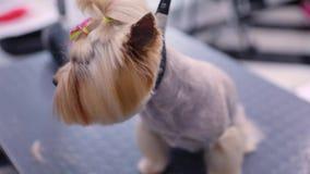 Καλλωπισμός σκυλιών στο σαλόνι της Pet Groomer που βουρτσίζει με την κινηματογράφηση σε πρώτο πλάνο χτενών φιλμ μικρού μήκους