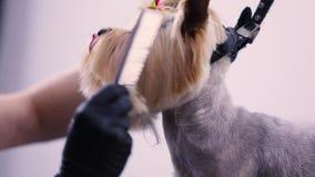 Καλλωπισμός σκυλιών στο σαλόνι της Pet Groomer που βουρτσίζει με την κινηματογράφηση σε πρώτο πλάνο χτενών απόθεμα βίντεο