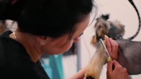 Καλλωπισμός της Pet Γούνα σκυλιών βουρτσίσματος Groomer με τη χτένα στο σαλόνι απόθεμα βίντεο