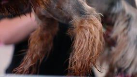 Καλλωπισμός της Pet στο σαλόνι Υγρό σκυλί που βουρτσίζει από την κινηματογράφηση σε πρώτο πλάνο Groomer φιλμ μικρού μήκους