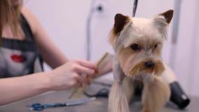 Καλλωπισμός της Pet Groomer που βουρτσίζει το αστείο σκυλί με τη χτένα στο σαλόνι απόθεμα βίντεο