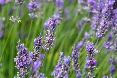 Καλοί κλάδοι lavender στον πυροβολισμό κινηματογραφήσεων σε πρώτο πλάνο στοκ φωτογραφίες