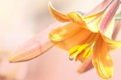καλοκαίρι βροχής κρίνων κίτρινο Στοκ εικόνα με δικαίωμα ελεύθερης χρήσης