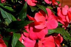 καλοκαίρι κήπων λουλουδιών ανθών Στο πάρκο πόλεων λουλούδια φυσικά Στοκ Φωτογραφίες