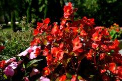 καλοκαίρι κήπων λουλουδιών ανθών Στο πάρκο πόλεων λουλούδια φυσικά Στοκ φωτογραφίες με δικαίωμα ελεύθερης χρήσης