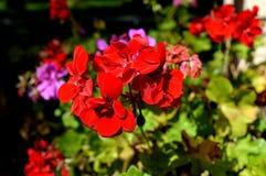 καλοκαίρι κήπων λουλουδιών ανθών Στο πάρκο πόλεων λουλούδια φυσικά Στοκ Εικόνα