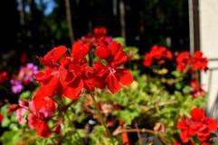 καλοκαίρι κήπων λουλουδιών ανθών Στο πάρκο πόλεων λουλούδια φυσικά Στοκ φωτογραφία με δικαίωμα ελεύθερης χρήσης