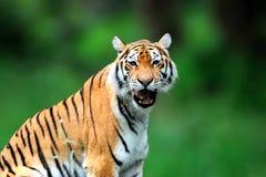 Καλοκαίρι με την τίγρη Σιβηρική τίγρη στον όμορφο βιότοπο Στοκ Εικόνα