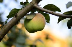 Καλοκαίρι, πράσινος, juicy, Apple, στον κλάδο, δέντρο της Apple, στο υπόβαθρο, ουρανός, ηλιόλουστος καιρός, ήλιος, φύλλα, πρασινά Στοκ Εικόνες