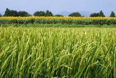 καλοκαίρι ρυζιού πεδίων Στοκ εικόνες με δικαίωμα ελεύθερης χρήσης