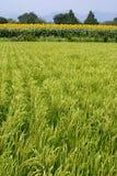 καλοκαίρι ρυζιού πεδίων Στοκ φωτογραφίες με δικαίωμα ελεύθερης χρήσης