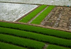 Καλοκαίρι της Κίνας στους wuchichan τομείς ρυζιού νησιών στα φανταστικά χρώματα Στοκ Φωτογραφίες