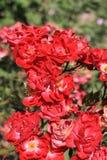 καλοκαίρι τριαντάφυλλω&n Στοκ Εικόνα