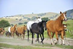 καλπάζοντας άλογα Στοκ Φωτογραφίες