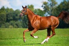 Καλπάζοντας άλογο σε ένα λιβάδι Στοκ φωτογραφίες με δικαίωμα ελεύθερης χρήσης