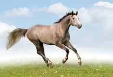 καλπάζοντας γκρίζο άλογο πεδίων Στοκ Εικόνες