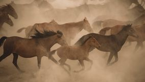 Καλπασμός τρεξίματος αλόγων στη σκόνη Στοκ εικόνα με δικαίωμα ελεύθερης χρήσης