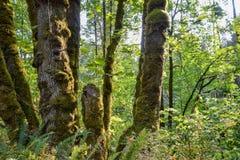 Καλυμμένα βρύο δέντρα στο πάρκο κομητειών Tapps βόρειων λιμνών στοκ εικόνες με δικαίωμα ελεύθερης χρήσης