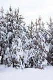 καλυμμένα δέντρα χιονιού γουνών Στοκ Εικόνες