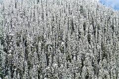 καλυμμένα δέντρα χιονιού πεύκων Στοκ Εικόνα
