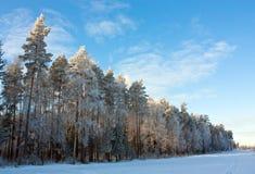καλυμμένα κωνοφόρο δέντρα  στοκ φωτογραφίες