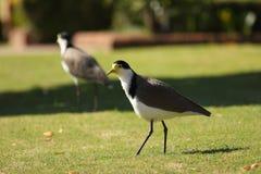 Καλυμμένα πουλιά αργυροπουλιών στο χορτοτάπητα Στοκ Φωτογραφία