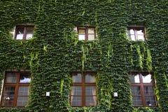 καλυμμένα πράσινα φύλλα σπ&i Στοκ Φωτογραφία