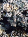 καλυμμένα ψάρια κοραλλιώ&n Στοκ Εικόνα