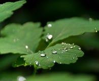 καλυμμένα celandine φύλλα δροσιά&si στοκ εικόνες