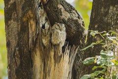 Καλυμμένες πιαμένες κουκουβάγιες Scops στο κολόβωμα δέντρων στοκ φωτογραφίες
