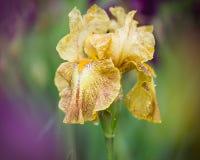 Καλυμμένη με τις πτώσεις δροσιάς, η ζωηρή κίτρινη Iris ανθίζει την άνοιξη Στοκ φωτογραφία με δικαίωμα ελεύθερης χρήσης