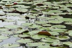 καλυμμένη πράσινη λίμνη φύλλ&o Στοκ Φωτογραφία