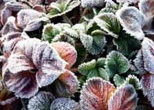 καλυμμένη φράουλα φύλλων & Στοκ φωτογραφία με δικαίωμα ελεύθερης χρήσης