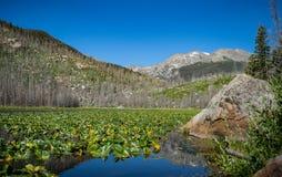 Καλυμμένη Cub κρίνων η μαξιλάρι λίμνη περιβάλλεται από τα δέντρα που σκοτώνονται από τους κανθάρους πεύκων Στοκ φωτογραφία με δικαίωμα ελεύθερης χρήσης
