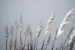 καλυμμένοι κάλαμοι χιονώ&d στοκ εικόνες
