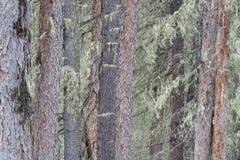 καλυμμένοι κορμοί δέντρων λειχήνων Στοκ Εικόνες