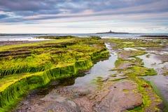 Καλυμμένοι φύκι βράχοι στη χαμηλή ακτή Hauxley Στοκ φωτογραφίες με δικαίωμα ελεύθερης χρήσης