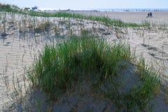 Καλυμμένοι χλόη αμμόλοφοι στην παραλία άμμου στοκ εικόνα