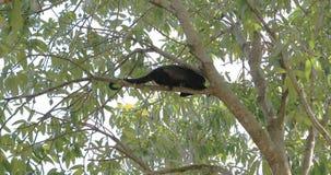 Καλυμμένος αρσενικό πίθηκος μαργαριταριού, palliata Alouatta, που σε ένα δέντρο 4K απόθεμα βίντεο