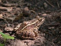 καλυμμένος βάτραχος Στοκ εικόνα με δικαίωμα ελεύθερης χρήσης
