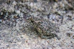 Καλυμμένος γκρίζος βάτραχος Στοκ φωτογραφία με δικαίωμα ελεύθερης χρήσης