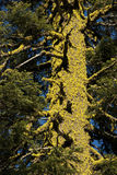 καλυμμένος κορμός δέντρων λειχήνων Στοκ Εικόνα