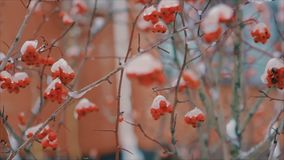 Καλυμμένος με τους θάμνους χιονιού με τα κόκκινα μούρα το χειμώνα σε αργή κίνηση απόθεμα βίντεο