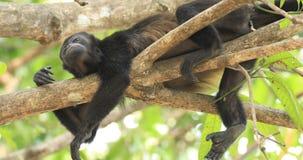 Καλυμμένος πίθηκος μαργαριταριού, palliata Alouatta, στη Κόστα Ρίκα 4K φιλμ μικρού μήκους