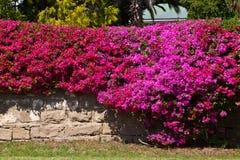 καλυμμένος τοίχος λουλουδιών bougainvillea τούβλο Στοκ Φωτογραφία