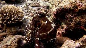 Καλυμμένος υποβρύχιος χταποδιών poulpe σε αναζήτηση του καταπληκτικού βυθού τροφίμων στις Μαλδίβες απόθεμα βίντεο