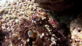 Καλυμμένος υποβρύχιος χταποδιών poulpe σε αναζήτηση του καταπληκτικού βυθού τροφίμων στις Μαλδίβες φιλμ μικρού μήκους