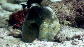 Καλυμμένος υποβρύχιος χταποδιών poulpe σε αναζήτηση των τροφίμων στο βυθό στις Μαλδίβες φιλμ μικρού μήκους
