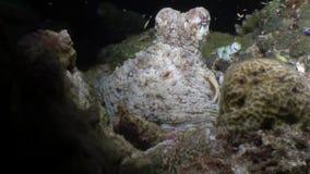 Καλυμμένος υποβρύχιος χταποδιών poulpe σε αναζήτηση των τροφίμων στο βυθό στις Μαλδίβες απόθεμα βίντεο