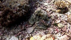 Καλυμμένος υποβρύχιος χταποδιών poulpe στο υπόβαθρο του καταπληκτικού βυθού στις Μαλδίβες απόθεμα βίντεο
